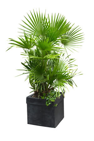 european-fan-palm, green living ideas & best air purifier plants