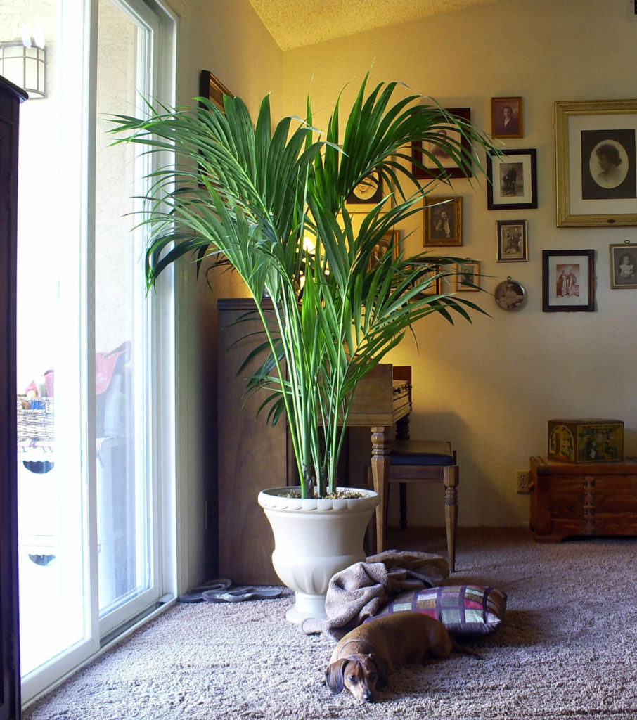 kentia-palm, green living ideas & best air purifier plants