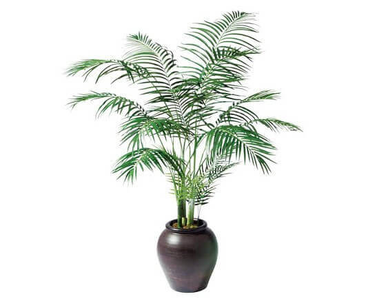 areca-palm, green living ideas & best air purifier plants