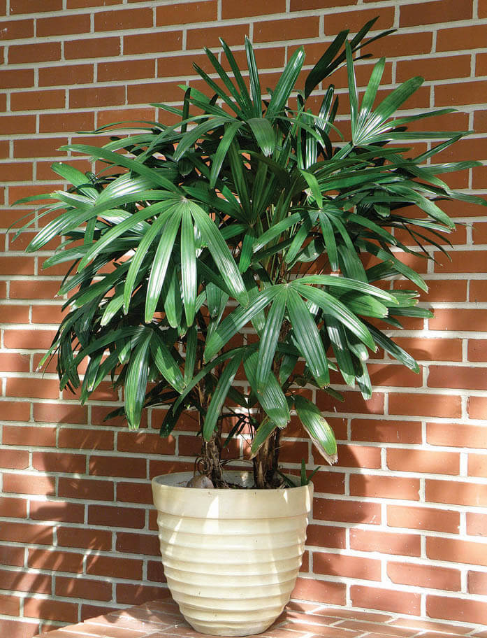 broadleaf-lady-palm, green living ideas & best air purifier plants