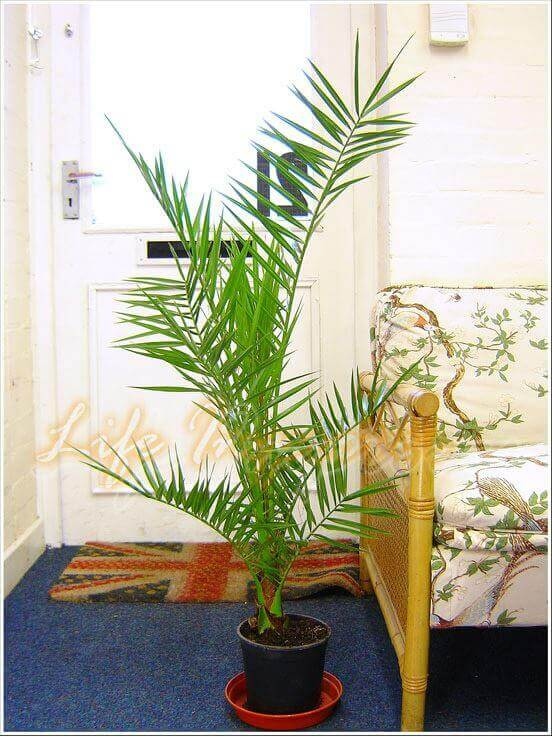 canary-date-palm, green living ideas & best air purifier plants