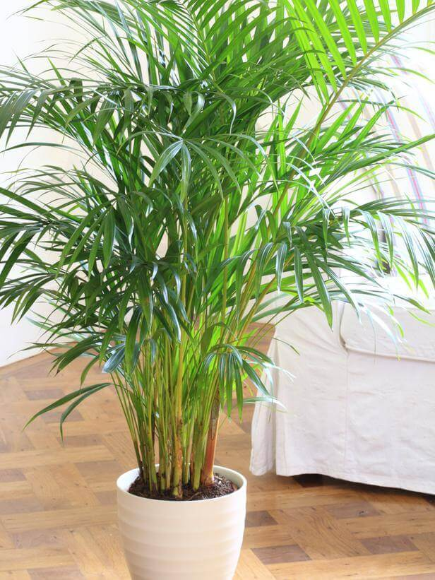 parlor-palm, green living ideas & best air purifier plants
