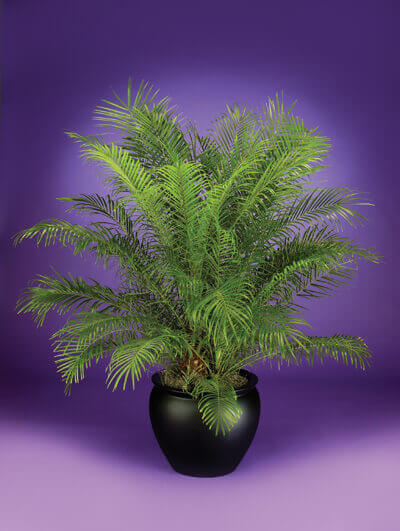 pygmy-date-palm, green living ideas & best air purifier plants