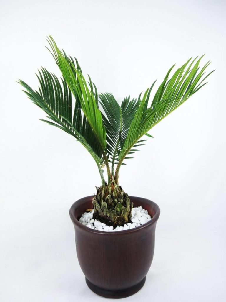 sago-palm, green living ideas & best air purifier plants