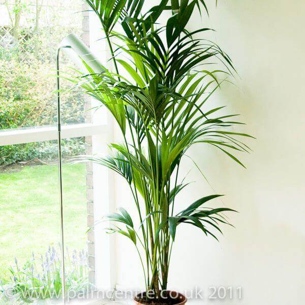 sentry-palm, green living ideas & best air purifier plants